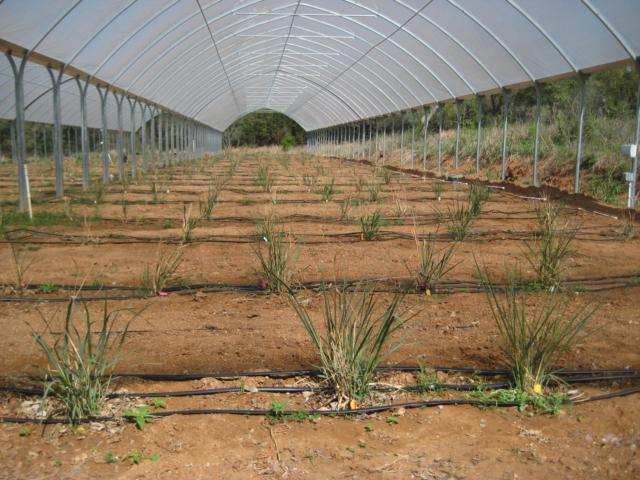 This slideshow contains pictures of plots of switchgrass and irrigation systems to test variations of tolerance in switchgrass, a project conducted by the University of Texas at Austin.